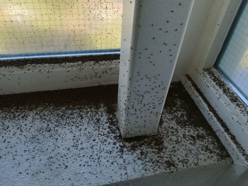 grasvliegen bestrijden